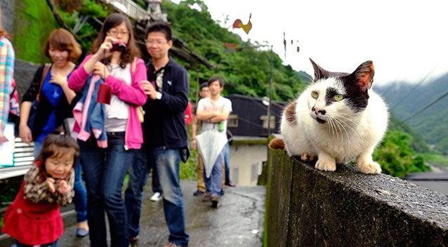Tourists stop to view one of the hundred or so resident cats resting on a wall in the small town of Houtong, Taiwan. Photo: AP