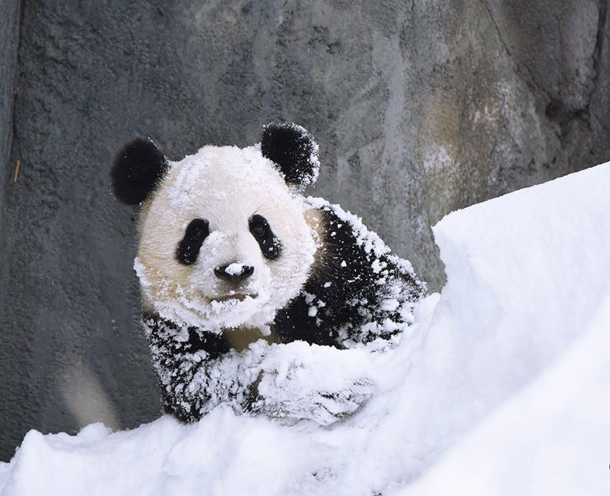 <p>There were, however, some who were very happy with Calgary's snow. Such as the adorable pandas as the Calgary Zoo.<br />(Photo from The Canadian Press) </p>