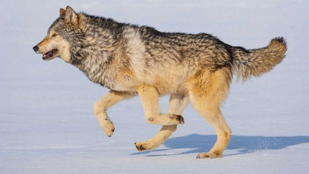 PHOTO: In this undated file photo, a grey wolf runs in the snow in Colorado. (Juan Carlos Munoz/Newscom, FILE)