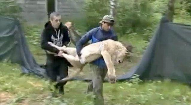 Two lions are fighting for their lives after being found emaciated at an abandoned Russian hotel. Picture: NTV