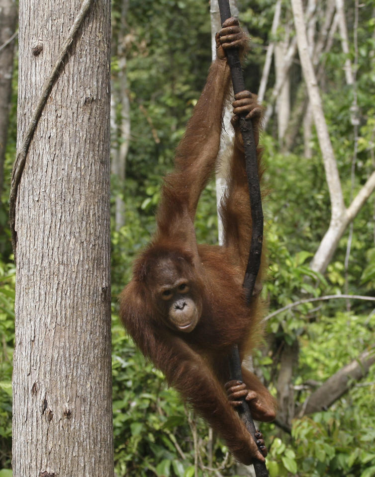 In this Jan. 9, 2011 photo, a recently released orangutan swings on a tree at a release site in Tanjung Hanau, Central Kalimantan, Indonesia. Villagers living on the Indonesian side of Borneo killed at least 750 endangered orangutans over a yearlong period, some to protect crops from being raided and others for their meat, a new survey shows. (AP Photo/Dita Alangkara)