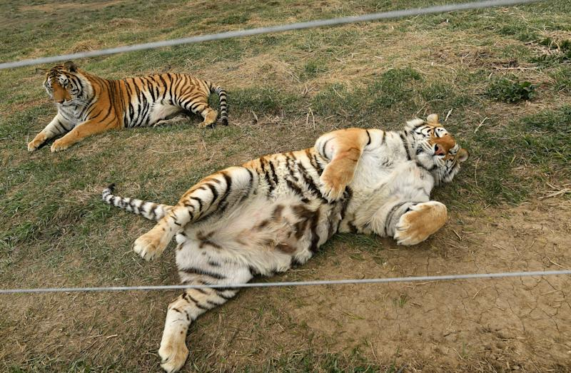 The tigers were reportedly in bad condition when they first got to The Wild Animal Sanctuary in 2017, suffering from psychological stress, malnutrition and serious dental problems. (Photo: Helen H. Richardson/MediaNews Group/The Denver Post via Getty Images via Getty Images)