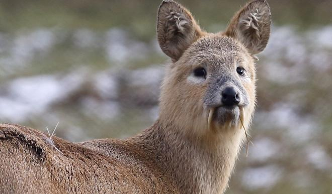 Chinese water deer have tusks that look like vampire fangs. Photo: Shutterstock