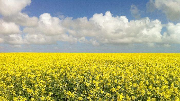 Canola yields were well above average across SA
