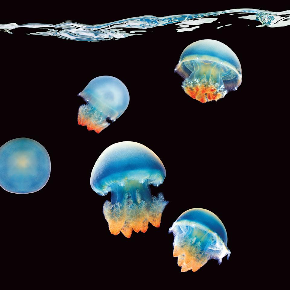 "Blue blubber jellyfish. Image courtesy of <a href=""http://www.amazon.com/Sea-Mark-Laita/dp/1419700871/ref=sr_1_1?s=books&ie=UTF8&qid=1317070137&sr=1-1"">""Sea"" by Mark Laita (Abrams)</a>."