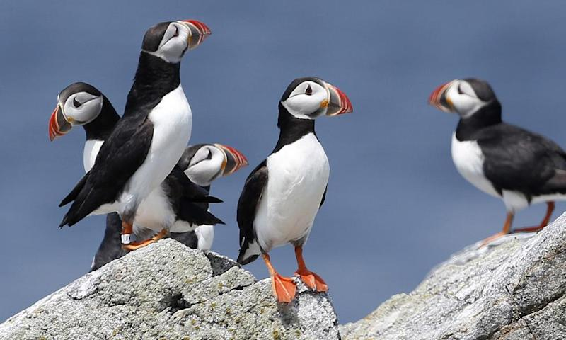 puffins perching on a rock