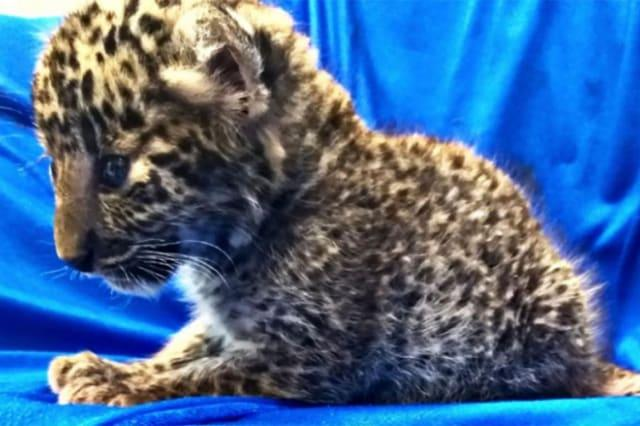 Passenger caught trying to smuggle baby leopard