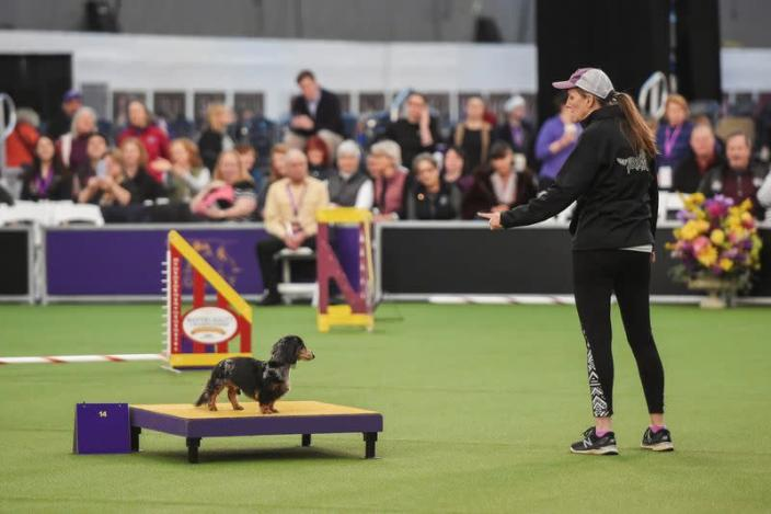A dog competes in the Masters Agility Championship during the Westminster Kennel Club Dog Show in New York