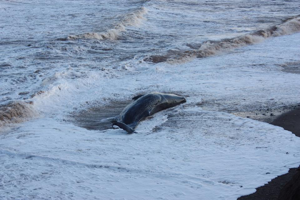 One of group of ten sperm whales which have been beached on a stretch of coastline between the villages of Tunstall and Withernsea in East Yorkshire.
