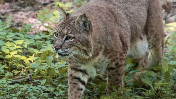 PHOTO: A Bobcat prowls through the woods in this undated stock photo. (STOCK PHOTO/Getty Images)