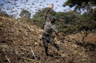 Stephen Mudoga, 12, the son of a farmer, chases away a swarm of locusts on his farm as he returns home from school, at Elburgon, in Nakuru county, Kenya Wednesday, March 17, 2021. It's the beginning of the planting season in Kenya, but delayed rains have brought a small amount of optimism in the fight against the locusts, which pose an unprecedented risk to agriculture-based livelihoods and food security in the already fragile Horn of Africa region, as without rainfall the swarms will not breed. (AP Photo/Brian Inganga)