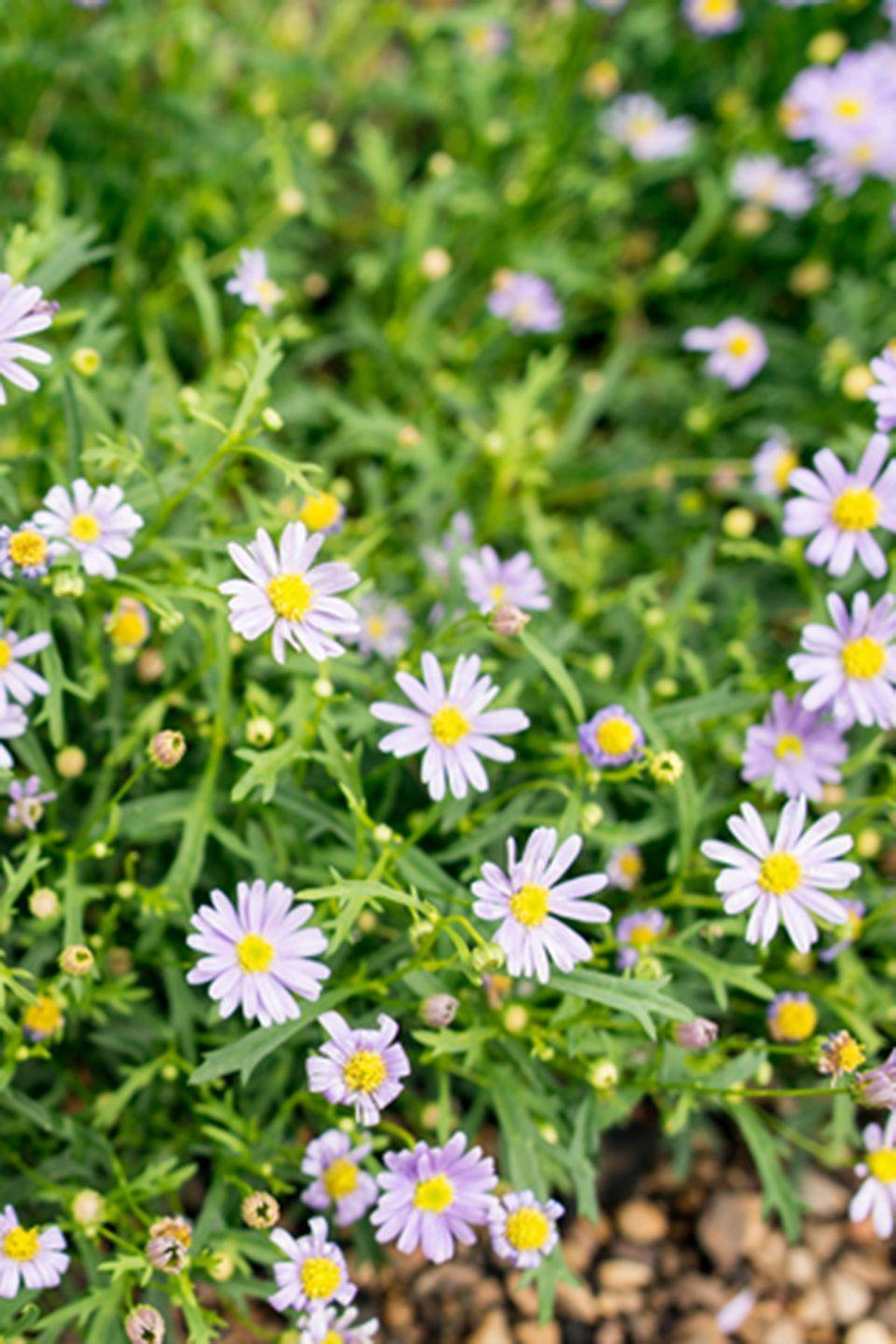 <p>These daisy-like flowers love lots of sunlight and water. They'll be blooming until almost winter.</p><p><strong>Zones: 3-8</strong></p>
