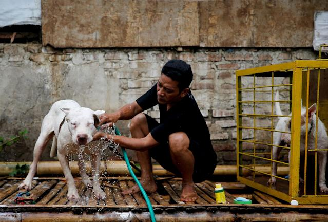 <p>Dog breeder Agus Badud washes his dog at his house in Cibiuk village of Majalaya, West Java province, Indonesia, Sept. 27, 2017. (Photo: Beawiharta/Reuters) </p>