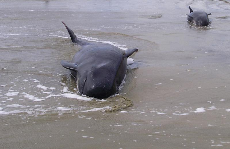 Scientists are unclear why pilot whales strand themselves in large groups, with some speculating healthy whales beach themselves while trying to help sick or disorientated family members that are stranded
