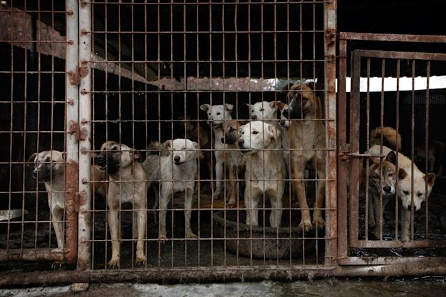 <p>Dogs are shown locked in a cage at a dog meat farm in Wonju, South Korea on Monday, Nov. 21, 2016. Humane Society International provided all 150 dogs with vaccinations and warm bedding, and aims to close down the farm and rescue the dogs. HSI is the leading animal welfare organization working to end Asia's dog meat trade, including in South Korea where around 17,000 farms breed up to 2.5 million dogs for human consumption annually. HSI works in partnership with dog farmers interested in leaving the industry, and assists their transition to cruelty-free livelihoods. More information is available at www.hsi.org/dogmeat. (Woohae Cho/AP Images for The Humane Society of the United States) </p>