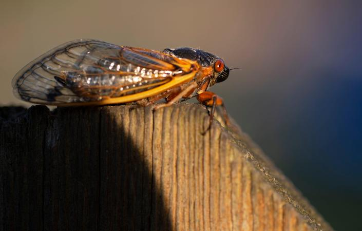 A cicada sits on a fence in Silverton. Brood X is slowly emerging, May 19, 2021. It takes about five days before you'll hear their piercing sound, according to Gene Kritsky, a leading cicada expert and entomologist at Mount St. Joseph University. As millions of cicadas take over our area, keep in mind, they're harmless.