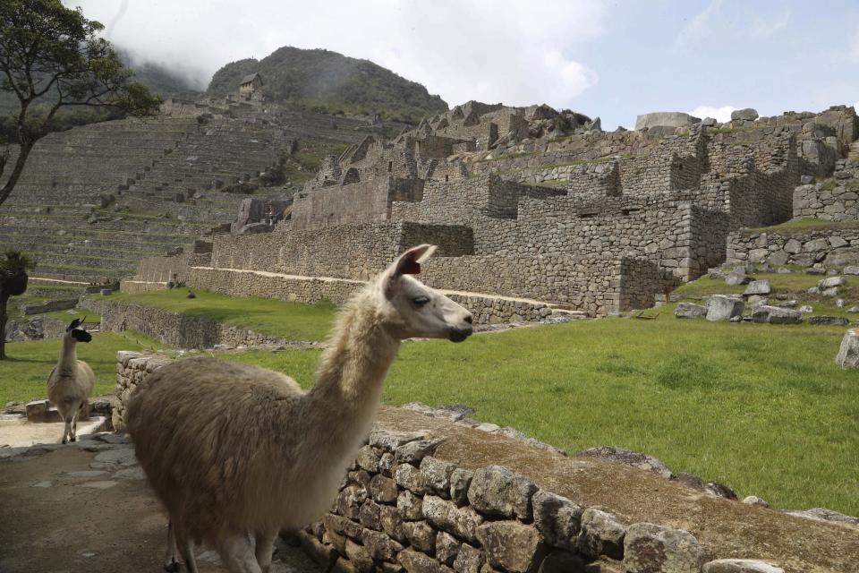 Lamas walk inside the empty Machu Picchu archeological site, devoid of tourists while it's closed amid the COVID-19 pandemic, in the department of Cusco, Peru, Tuesday, Oct. 27, 2020. Currently open to maintenance workers only, the world-renown Incan citadel of Machu Picchu will reopen to the public on Nov. 1. (AP Photo/Martin Mejia)