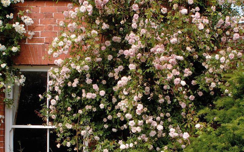 An effortless climber, these pearly pink buds are perfect for bringing charm  - David Austin Roses
