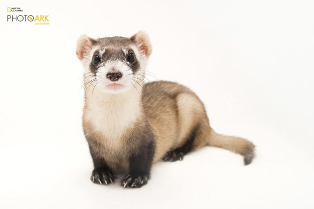 <p><strong>Endangered, fewer than 500 left in the wild.</strong> <br> Photographed at the Toronto Zoo in Toronto Canada. (© Photo by Joel Sartore/National Geographic Photo Ark)<br><br><em> Support the Photo Ark and projects working to help save species</em><br><em> at PhotoArk.org and join the conversation on social media with</em><br><em> #SaveTogether.</em> </p>