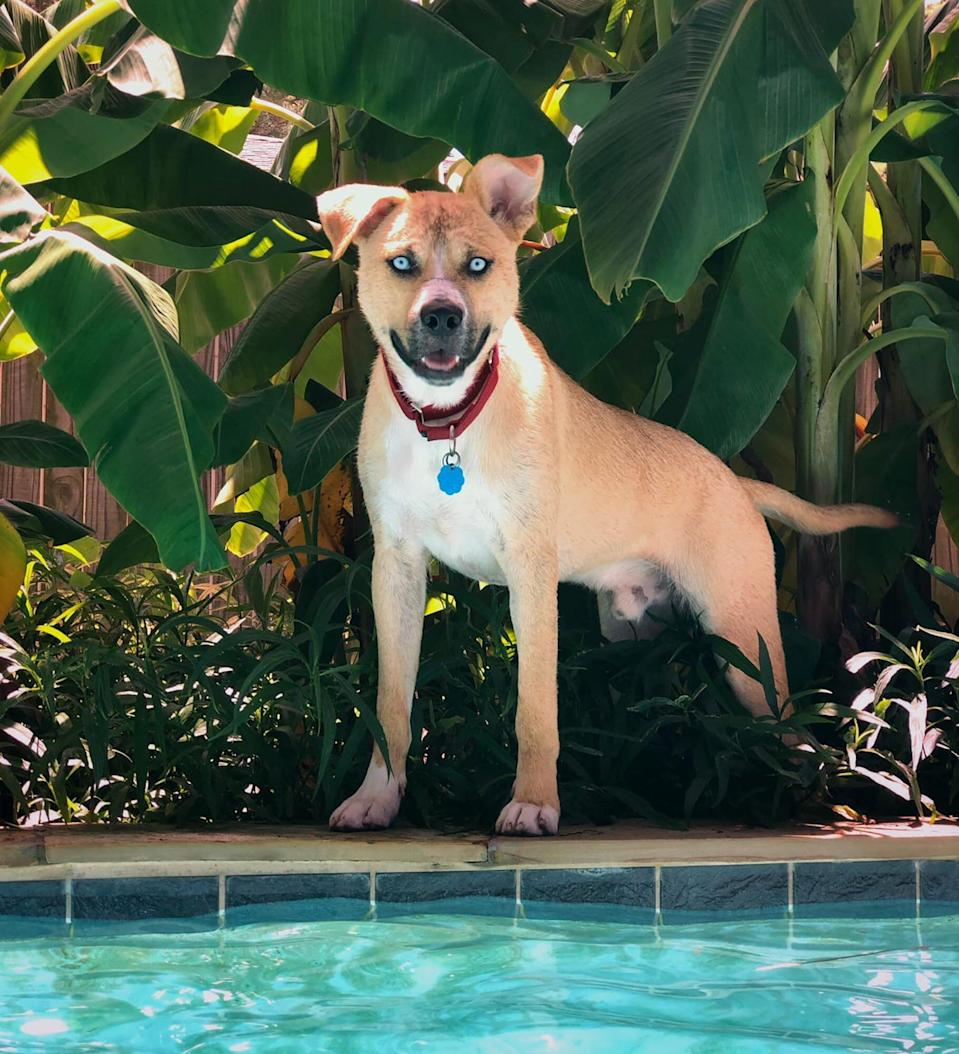 hank, the dog from the funny adoption website, standing at the edge of a pool