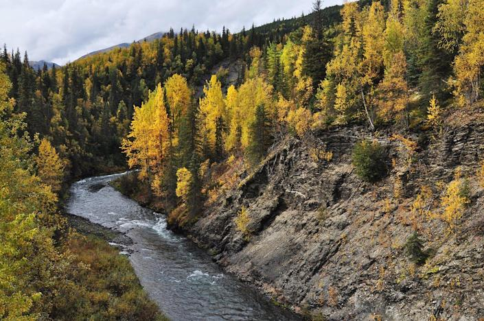 A river runs through a forest of yellow broadleaf trees with spruce mixed in.