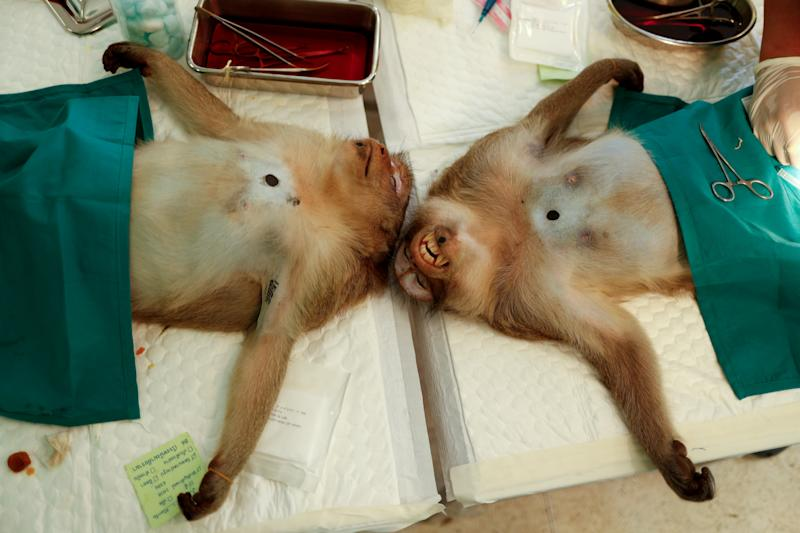 Two monkeys are seen sedated as veterinarians from the the Department of National Parks carry out a sterilization procedure due to the increase of the macaques population in the urban area and the tourist spots of the city of Lopburi, in Thailand June 22, 2020. Picture taken June 22, 2020. REUTERS/Jorge Silva TPX IMAGES OF THE DAY
