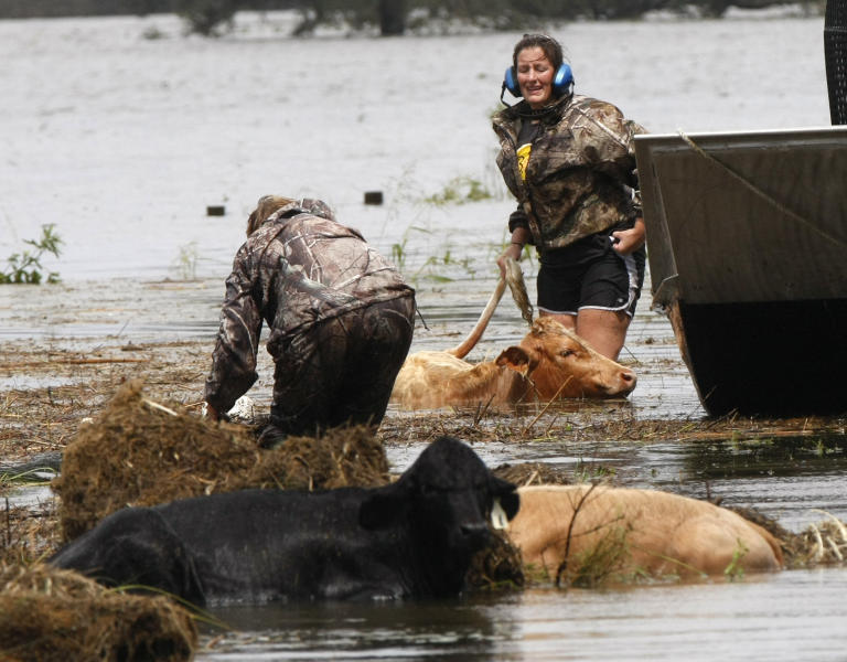 People rescue cows from floodwaters after Isaac passed through the region, in Plaquemines Parish, La., Thursday, Aug. 30, 2012. Isaac staggered toward central Louisiana early Thursday, its weakening winds still potent enough to drive storm surge into portions of the coast and the River Parishes between New Orleans and Baton Rouge. (AP Photo/Gerald Herbert)