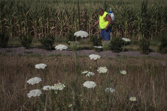 Wild flowers grow in the foreground as a man sprays roadside plants with insecticide in front of a drought stricken corn field in DeWitt, Iowa July 12, 2012.