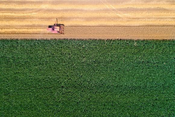A bird's-eye view of a corn harvest.