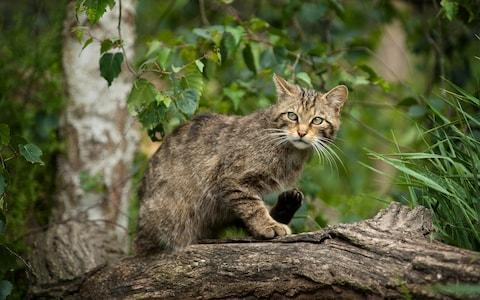 Wildcat in Scotland