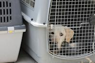 A dog left behind during last month's evacuations from Afghanistan rests inside a pet cage in a makeshift training centre at the airport in Kabul (AFP/Karim SAHIB)