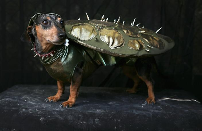 Pepper, a Dachshund, poses as a turtle at the Tompkins Square Halloween Dog Parade. (Photo by John Moore/Getty Images)