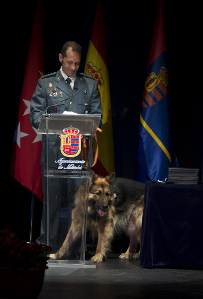 Police dog Ajax, right sits as by his handler, Civil Guard Sergeant Juan Carlos Alabarces Munoz makes a speech after the dog won a medal in Mostoles, just outside of Madrid, Spain Tuesday June 11, 2013. The Spanish police dog has received an award by a British animal defense group in recognition of his bravery on detecting a bomb on the Spanish island of Mallorca allowing police to explode it. Ajax, a bushy-coated gold and black 12-year-old German Shepherd  was presented with the award Tuesday at a ceremony on the outskirts of the Spanish capital by representatives of the People's Dispensary for Sick Animals.(AP Photo/Paul White)