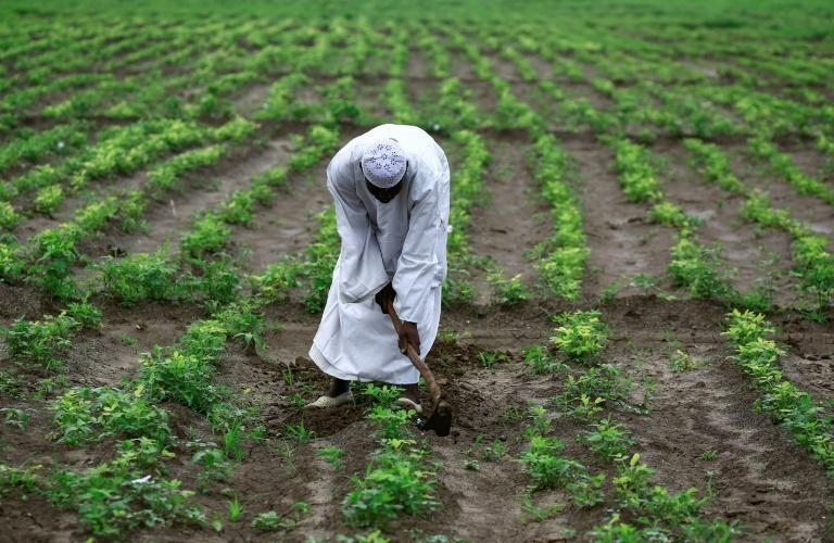 Farmer Khair Daoud tends his field of peanuts, a crop well suited to growing in Sudan