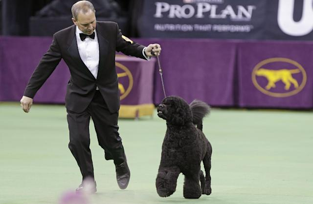A Portuguese water dog competes in the working group during the Westminster Kennel Club dog show, Tuesday, Feb. 11, 2014, in New York. (AP Photo/Frank Franklin II)