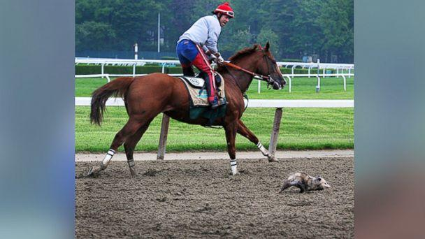 ht california chrome possum4 kab 140523 16x9 608 Opossum Challenges California Chrome During Practice at Belmont