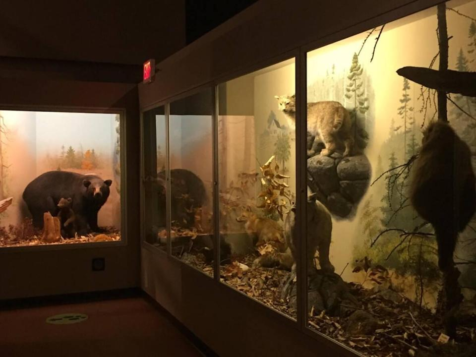 Taxidermied bears and wildcats are seen on display at the Nova Scotia Museum of Natural History. The mammal exhibit, which has been in the museum for 50 years, will be removed next week. (Jeff Gray/Nova Scotia Museum of Natural History - image credit)