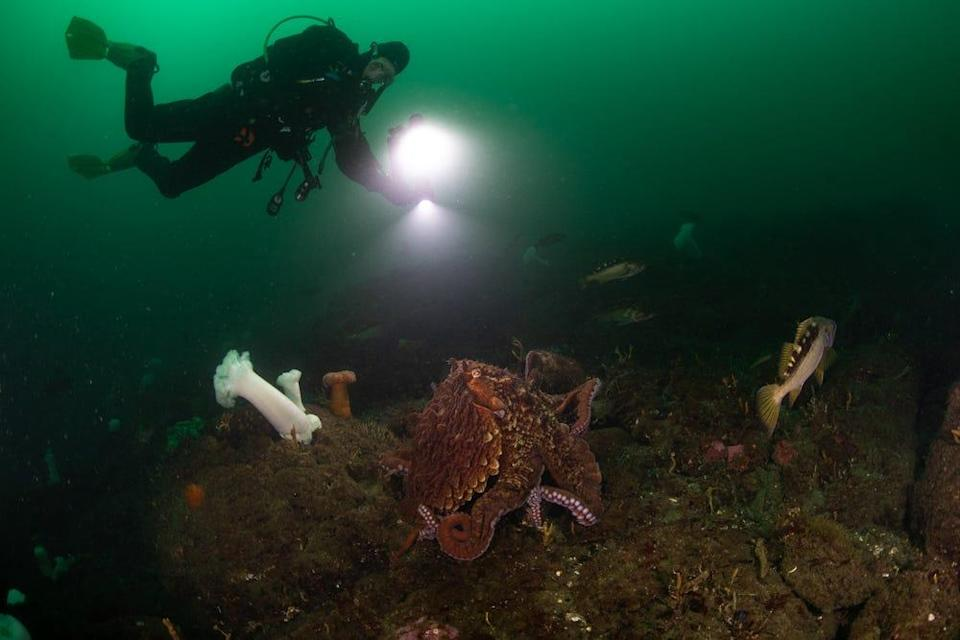 The waterways around Seattle offer protected dives and a chance to see incredible sealife, like human-sized lingcod and brilliant white plumose anemones.