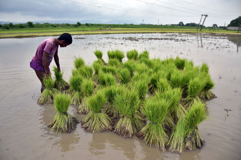 A farmer gathers saplings to be planted at a paddy field in a village in Nagaon district
