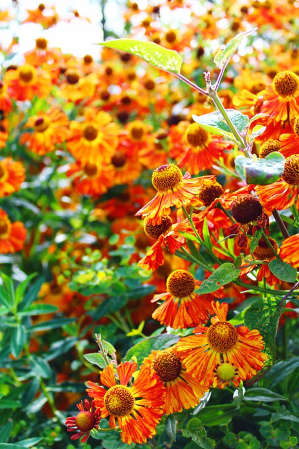 <p>If you plant helenium in for your fall garden, expect to see butterflies! They love to hang around these vibrant flowers.</p><p><strong>Zones: 3-8</strong></p>