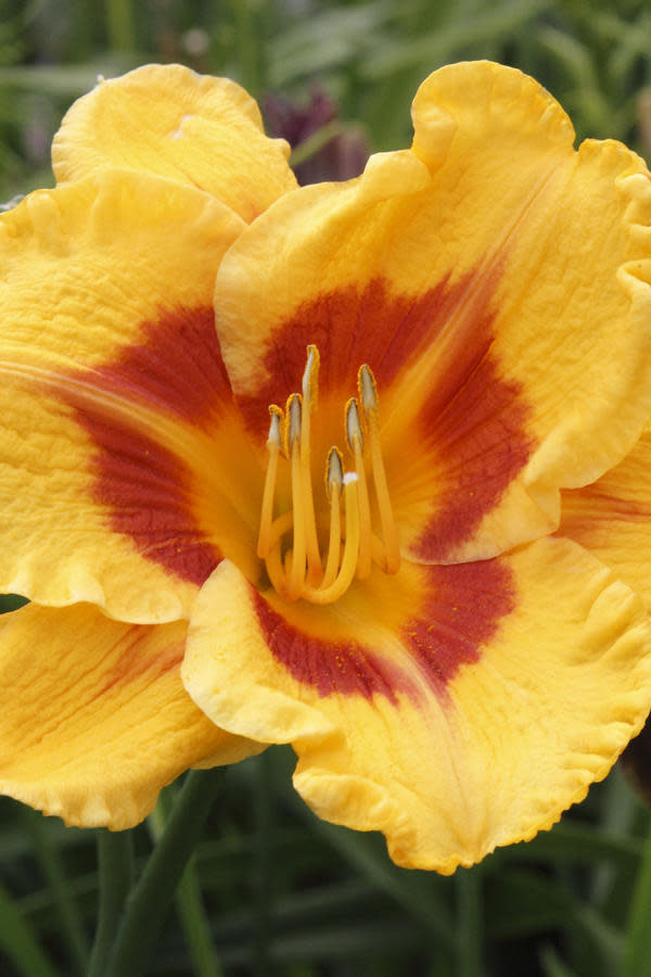 """<p>Another dependable perennial and Southern garden staple is the daylily. It will also survive the stifling heat and is painless to grow. This flower comes in a variety of colors, shapes, and sizes, and June is the peak season of growth. For best results, daylilies should be watered regularly and planted in well-drained soil. Grumpy says daylilies are <a rel=""""nofollow"""" href=""""http://thedailysouth.southernliving.com/2014/06/15/daylily-the-easiest-perennial/"""">""""the easiest perennial""""</a> and great for beginners. Daylilies are also easy to hybridize too, which will fill your garden with even more color.</p>"""