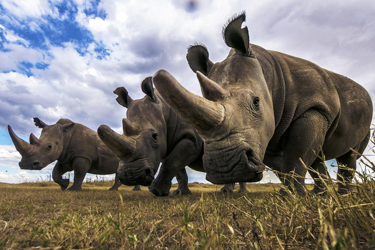 """<p>There are a total of <a href=""""https://www.helpingrhinos.org/5-species-of-rhino/"""">five different kinds of rhinos</a>. And while you may think of them wandering through Africa, they're also found throughout Asia. The types are the Black rhino and the White rhino—they live in Africa—and the Sumatran, Javan, and Indian (or greater one-horned) rhino—they live in the tropical forests and swamps of Asia. They are native to eastern and southern Africa, as well as India, Nepal, Vietnam, Malaysia, and Indonesia.</p><p><em>[<a href=""""https://www.popularmechanics.com/science/animals/g28857063/most-extreme-animals/"""" target=""""_blank"""">The 40 Most Extreme Animals on the Planet</a>]</em></p>"""
