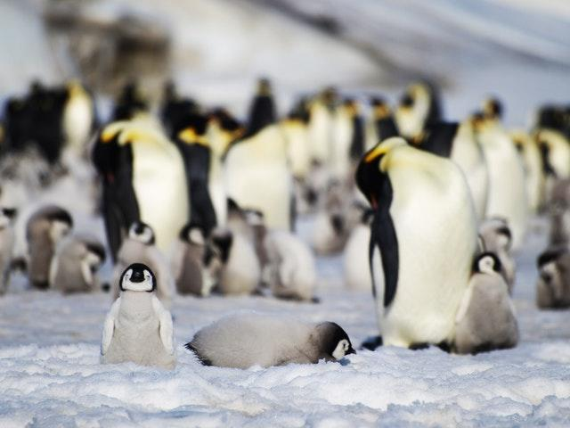 Penguins forced up 100ft ice walls