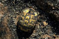 A burnt tortoise following a forest fire in Gonfaron, in southern France's Var department