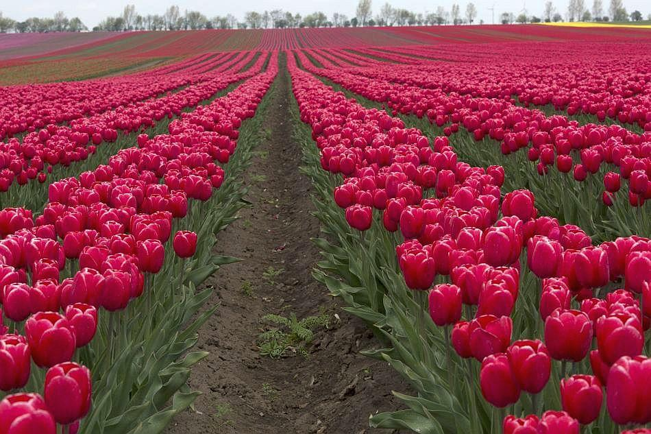 Red tulips blossom in a field in Germany.