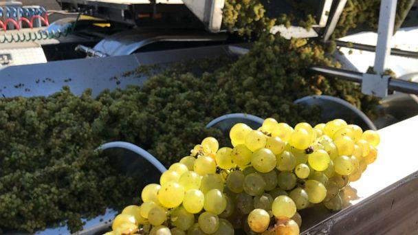 "PHOTO: ""We just got a load of our handpicked Chardonnay grapes,"" said Jill Russell, a winemaker at Cambria Estate Winery. (Alex Stone/ABC)"