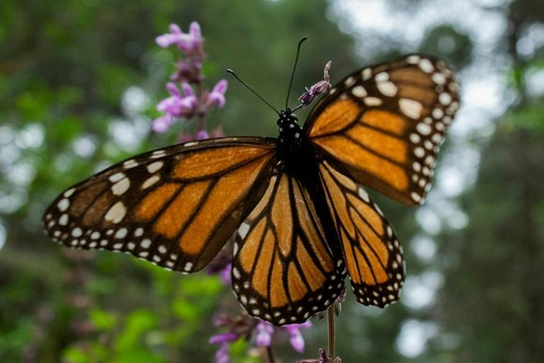 Hundreds of Canadian volunteers are taking part in a program to find monarch butterfly eggs, to help researchers determine environmental zones in need of protection (AFP/Enrique Castro)