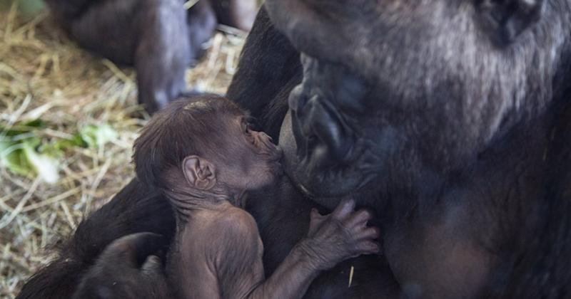 Chicago's Lincoln Park Zoo is keeping a close eye on western lowland gorilla Rollie and her new baby