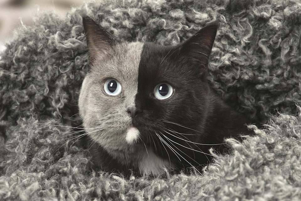 This cat's perfectly split facial fur is thought to be a result of different DNA on each side. (Caters)