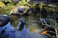 A statue of a crane is reflected in the lower pond as koi swim nearby in the Japanese Garden at Lotusland, Monday, Nov. 23, 2020, in Montecito, Calif. A Lotus viewing deck, where the aquatic plant blooms in June, July and August, is seen in the background on right. The recently reconstructed pond has a new liner and biofiltration system for improved water clarity, where koi, several aquatic plants and lotuses are viewed. (AP Photo/Pamela Hassell)